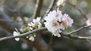 cherry blossum